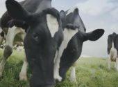 Vacas felizes vencem Grande Prémio à Eficácia 2017