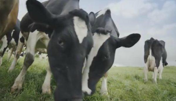 Vacas felizes lideram anúncios mais populares em Julho