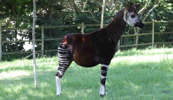 No dia mundial do Okapi visite o Jardim Zoológico